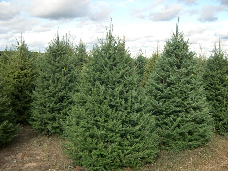Maple Valley Area Christmas Tree Farms