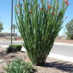 Can You Plant Pine Trees In The East Valley Az