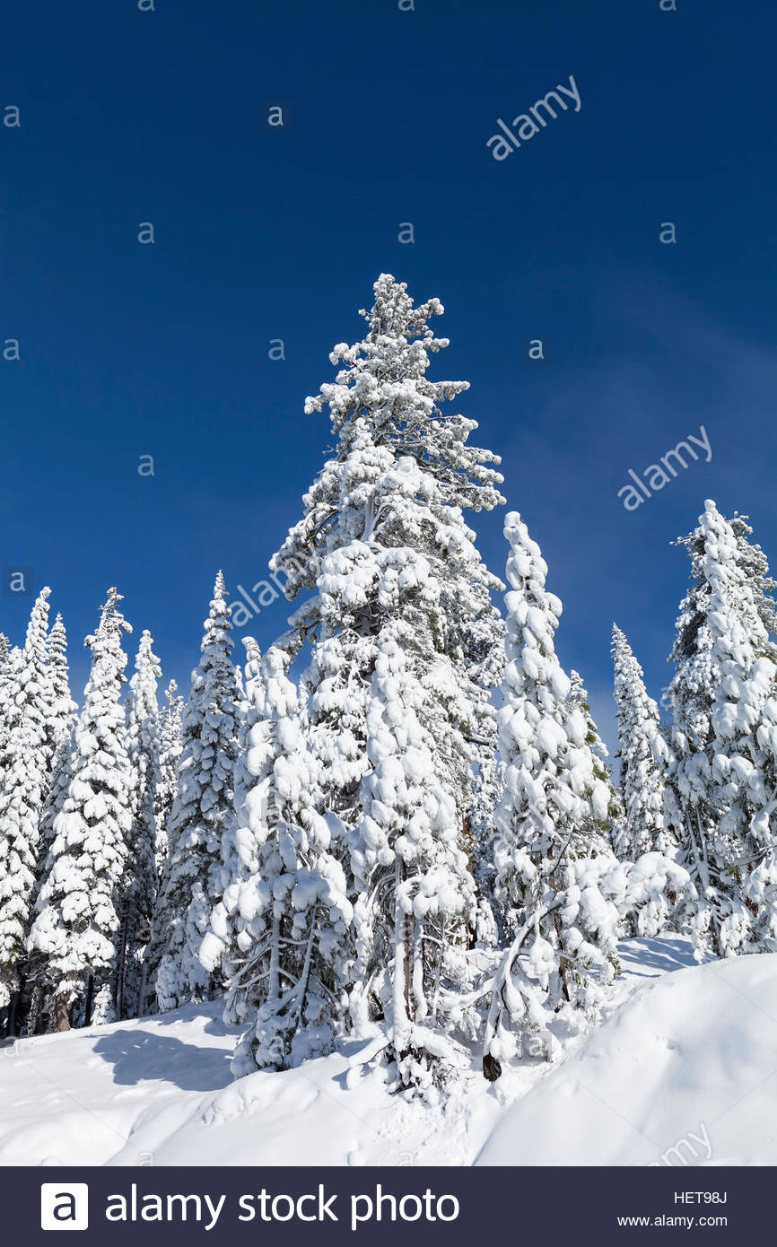 Snow covered pine trees near Lake Tahoe, CA with blue sky ...
