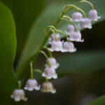 Lily Of The Valley Pinterest