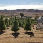 Pine Valley Christmas Tree Farm Auburn Ca