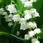 Will Lily Of The Valley Grow Under Pine Trees