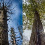 Pine Tree Needles Of Hudson Valley New York