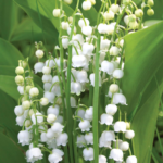 Lilies Of The Valley Song Pina