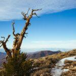 Bristlecone Pine Death Valley