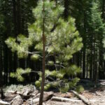 Ponderosa Pines And Grass Valley And For Sale