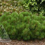 Valley Cushion Dwarf Mugo Pine