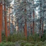 Largest Willamette Valley Ponderosa Pine