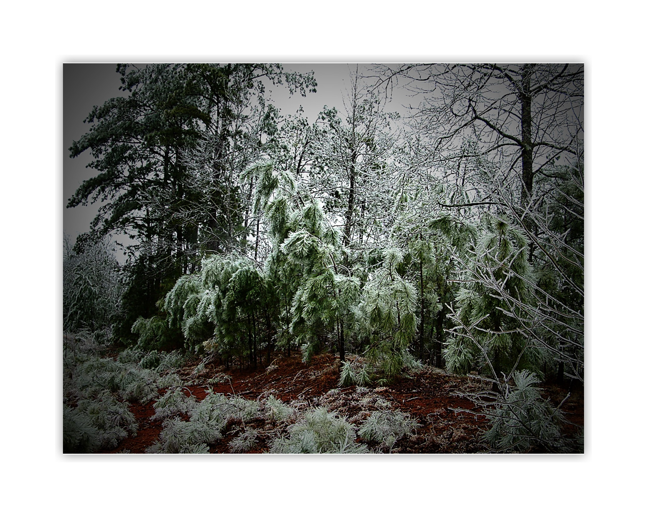 Young Pine Trees, Post Ice Storm: Pine Mountain Valley ...