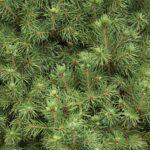 57128445 Valley Spruce Pine Tree