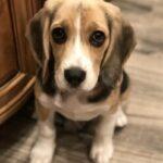 Min Pin Terrier Rescue In San Tan Valley Az