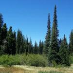 Pine Valley Ranger District Christmas Tree Permit
