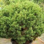 Pine Mugo Valley Cushion