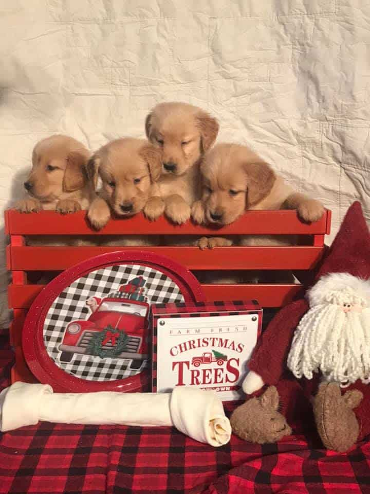 Puppies For Sale Rochester Mn - PetsWall
