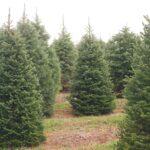 Pine Valley Xmas Tree Farm