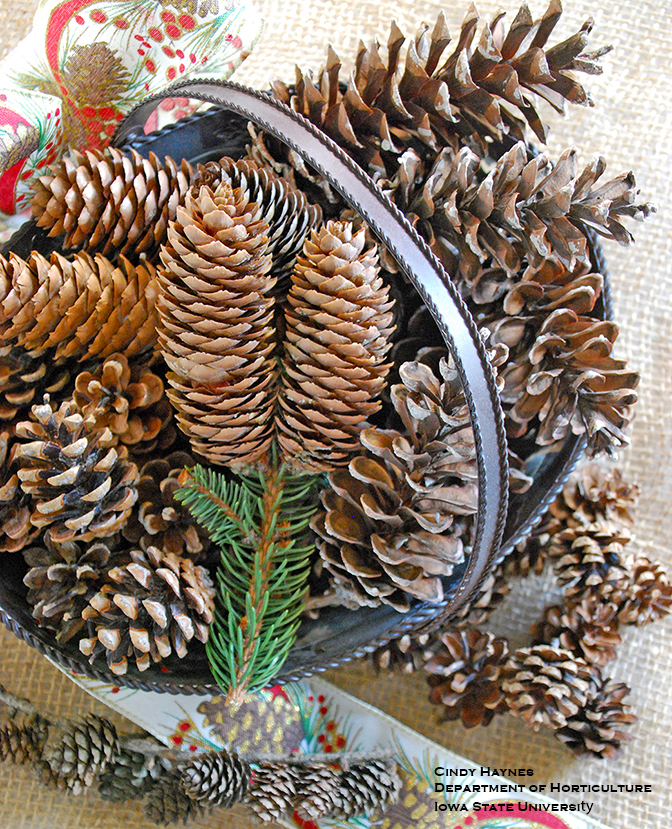 Pine Cone Musings   Horticulture and Home Pest News