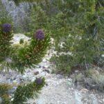 Pine Cones Central Valley California