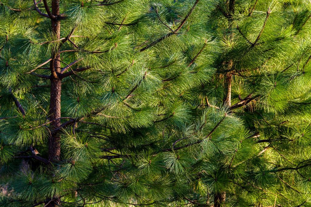 Willamette Valley Ponderosa Pine   Crossing the Cascade ...